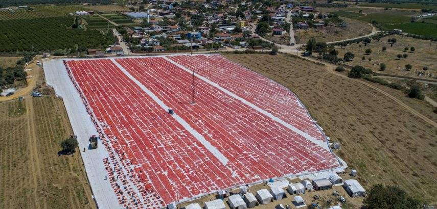 Exported Tomatoes Laid Out in the Sun